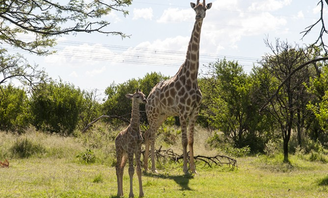 Baby giraffe at Mahikeng Lodge