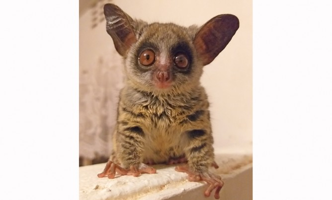 KEVIN THE BUSH BABY
